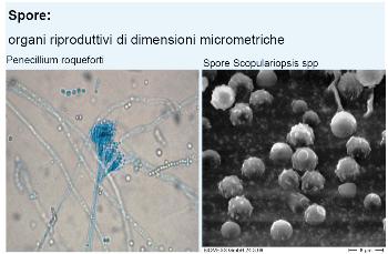 spore della muffa
